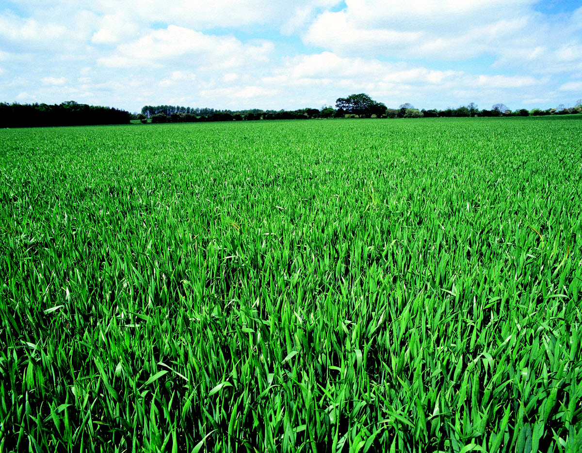 Field of crops growing
