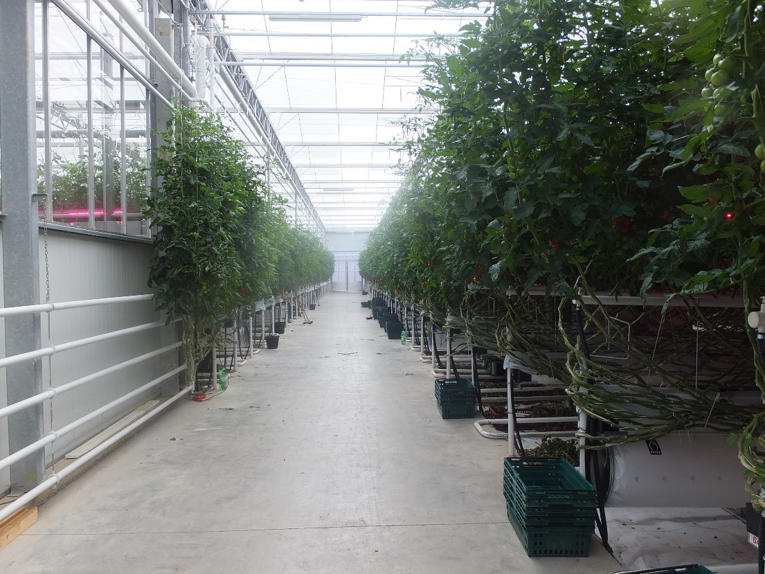 commercial greenhouse growing